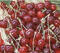 Black Tartarian Cherry