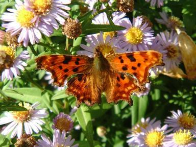 Comma Butteryfly
