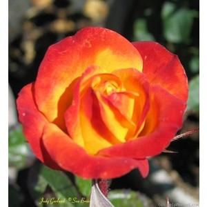 Judy Garland Rose