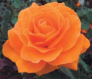 Rose Vavoom