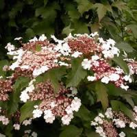Viburnum - Onondaga